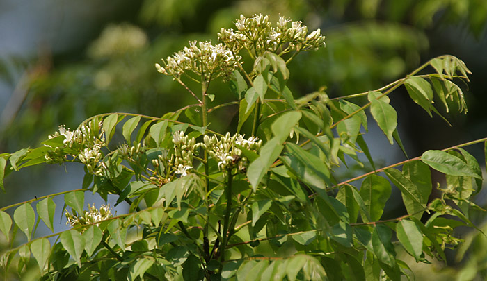 Benefits of Curry leaves (Kadi Patta) – Spiritual Awareness